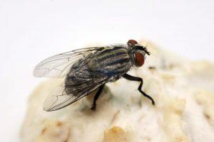 Fliegen: Sie sind nicht nur lästig, sondern auch unhygienisch und eine Gefahr für die Gesundheit. (Bildquelle: © spoilergen – Fotolia)